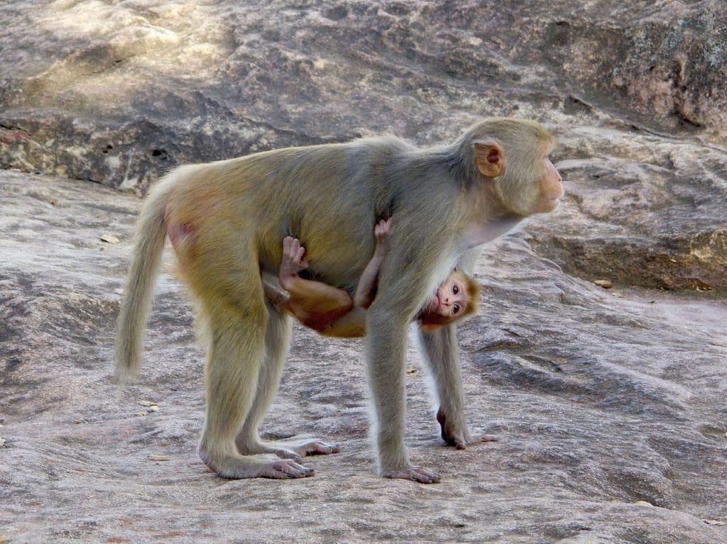 Maman singe et son enfant - voyage sur mesure