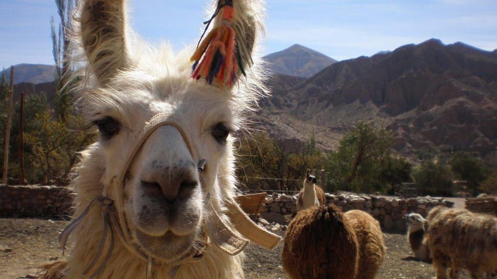 Lama en Bolivie - circuit a la carte