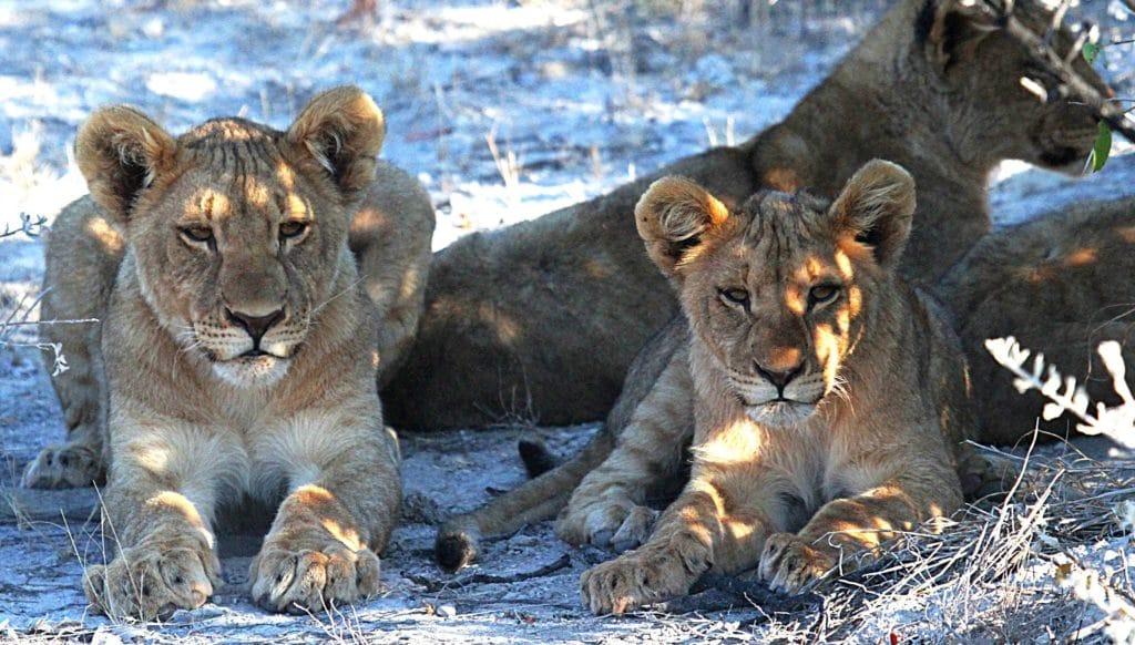 Lion à Namibie - circuit sur mesure