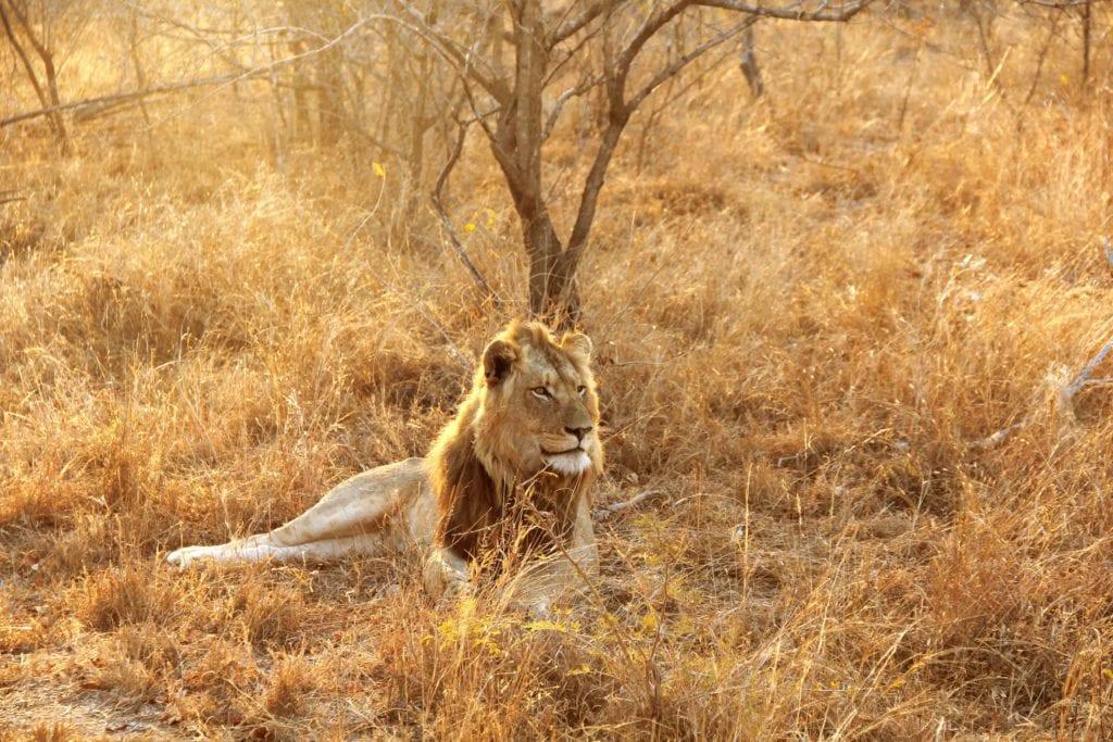 Kruger lion Afrique du sud