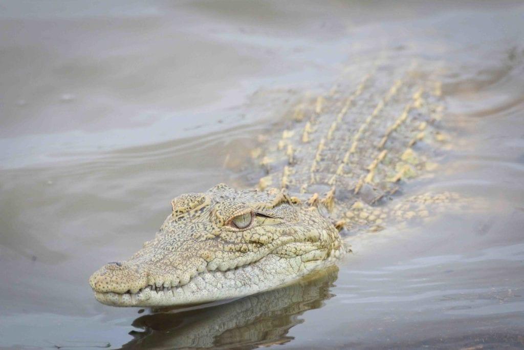 crocodile river, Australie