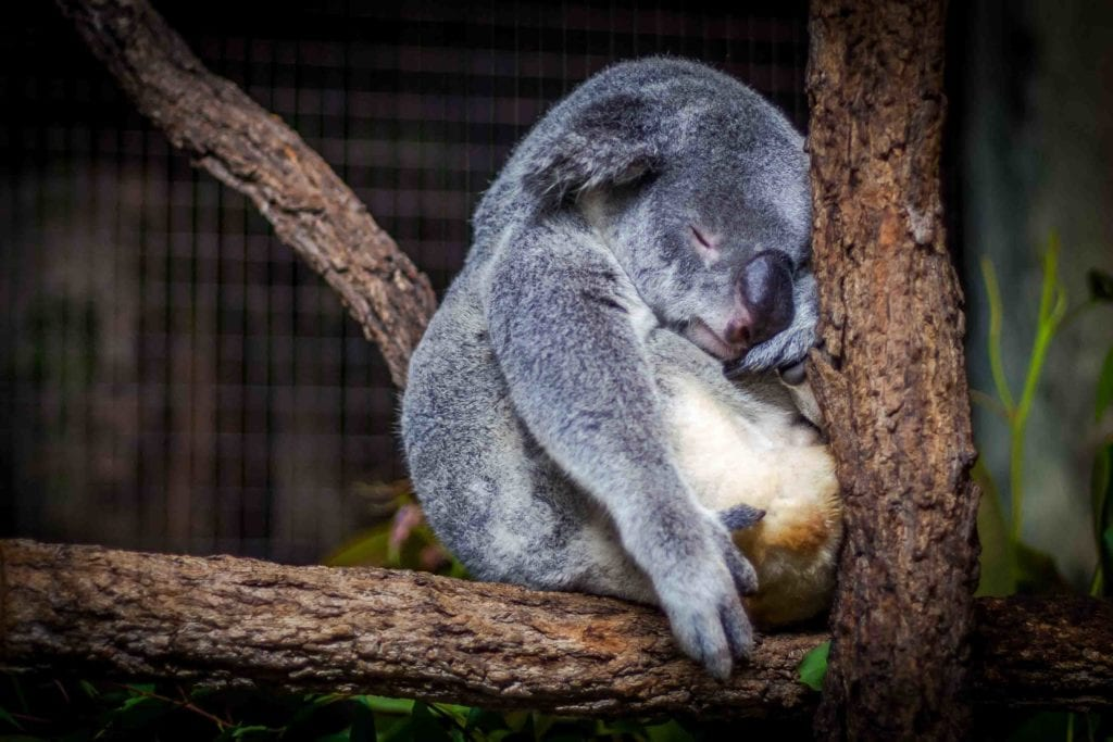 koala, Australie