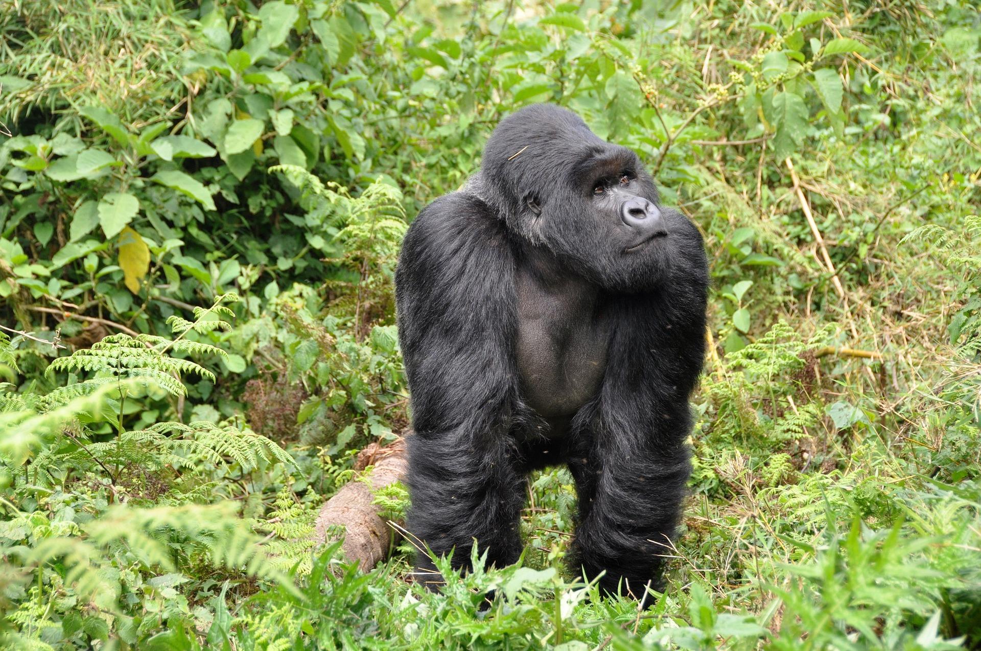 gorille rwanda -voyage a la carte