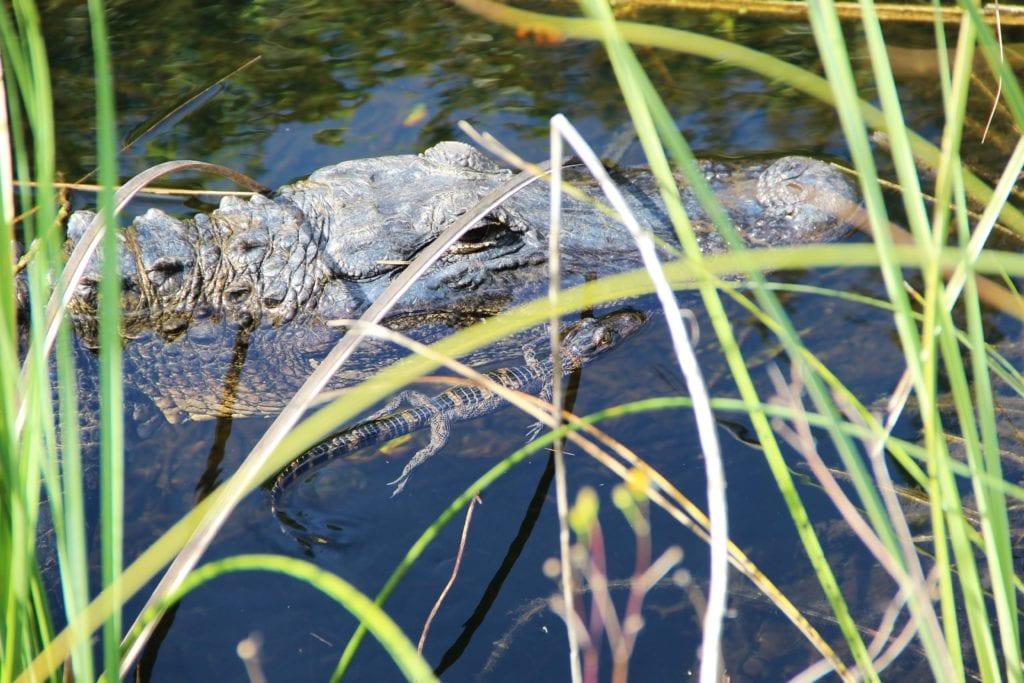crocodile key west floride Autotour en Floride