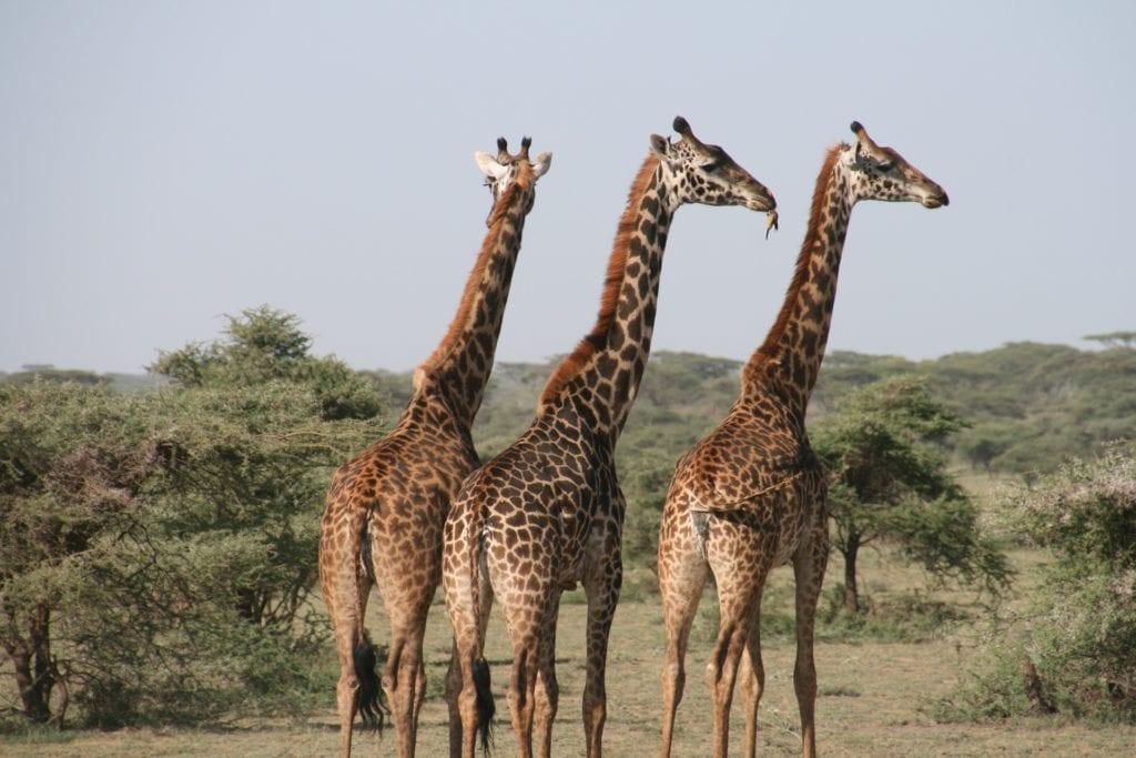 girafes Afrique du sud voyage de luxe et écologie